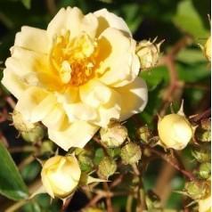 Rose Hybrida - Historisk Klatre Rose