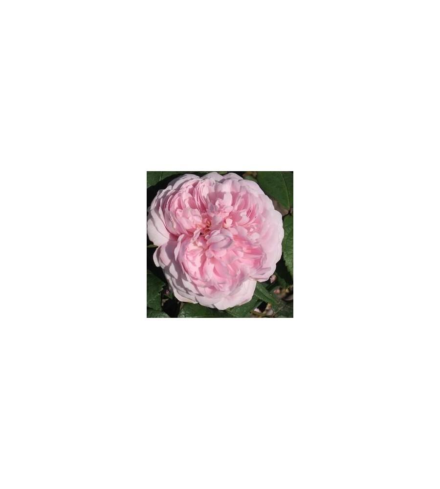 Rose Jacques Cartier / Gammeldags Rose