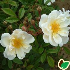 Rose Lykkefund / Busk Rose