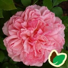 Rose Elysee - Slotsrose