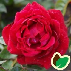 Rose Capricia Renaissance - Renaissancerose