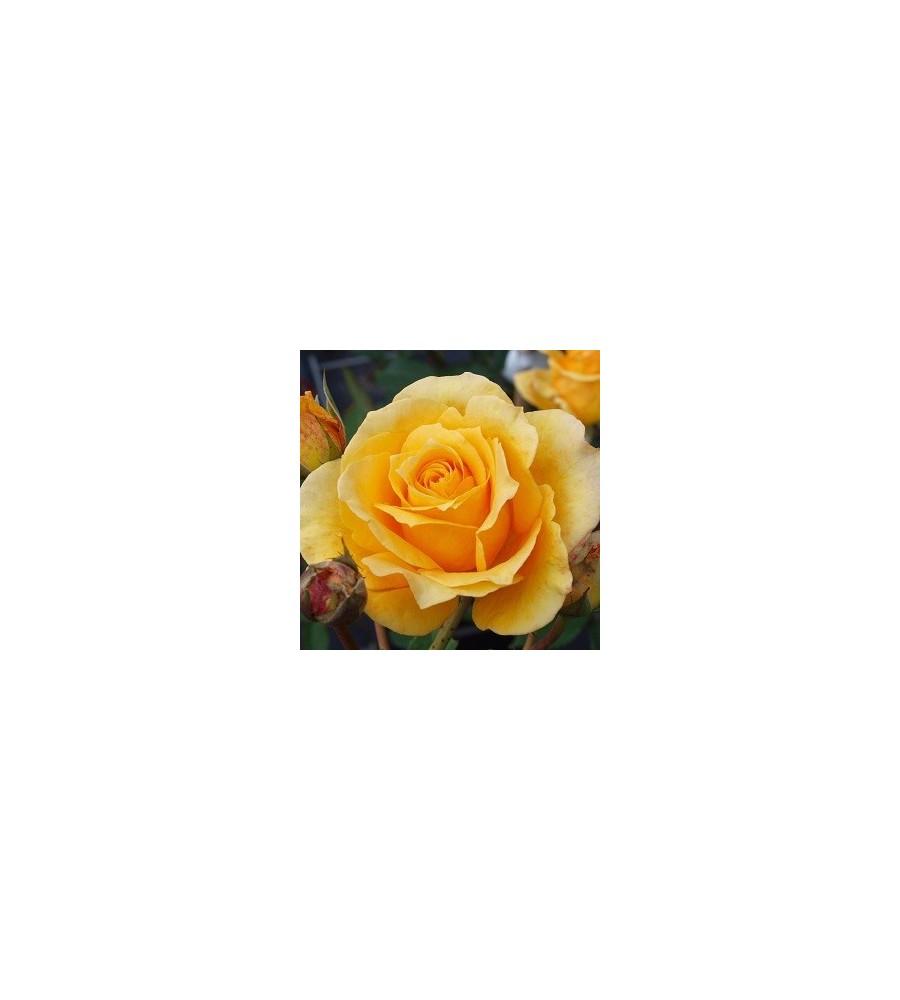 Rose Sophia Renaissance - Renaissancerose