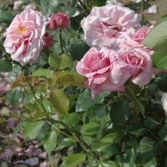 Rose Aloha / Slyngrose