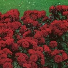 Rose Brillant / Slyngrose