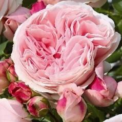 Rose Giardina - Slyngrose
