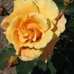Rose Goldener Olymp / Slyngrose