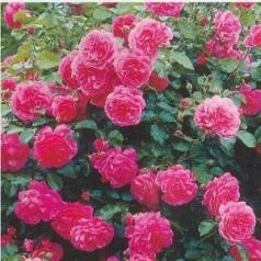 Rose Rosarium Uetersen / Slyngrose