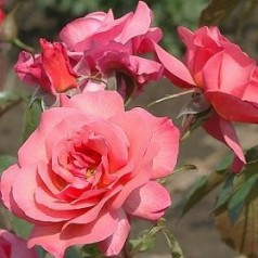 Rose Rosenresli / Slyngrose