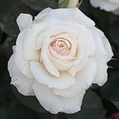 Rose Schneewaltzer / Slyngrose