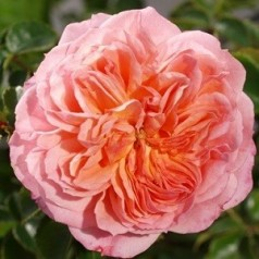 Rose Pirouette - Slyngrose Courtyard Climber