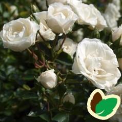 Rose Waltz - Slyngrose Courtyard Climber / Barrods