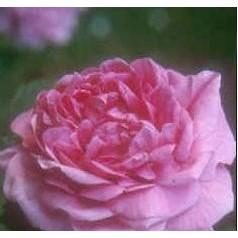 Rose Magna Charta / Gammeldags Rose