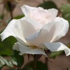 Rose Margaret Merril - Buketrose / Barrods