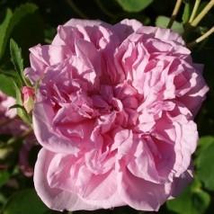 Rose May Queen - Historisk Klatre Rose