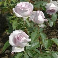 Rose Mme Alfred Carriere / Historisk Rose
