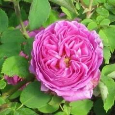Rose Mme Isaac Pereire - Bourbonrose