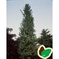 Ginkgo biloba Fastigiata - Søjle tempeltræ / 125-150 cm.