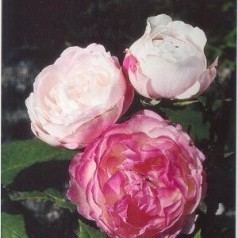 Rose Mme Pierre Oger / Historisk Rose
