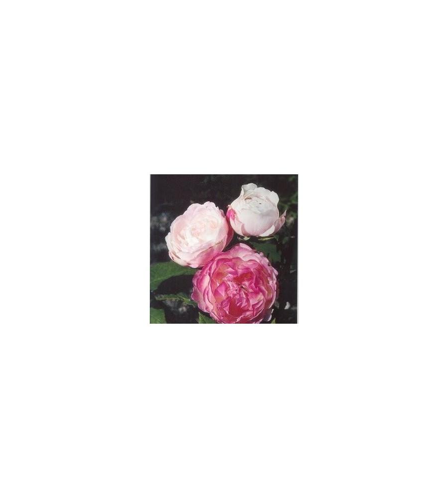 Rose Mme Pierre Oger / Historisk Rose
