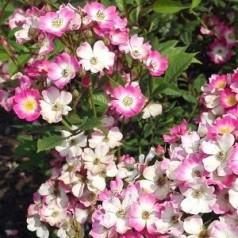 Rose Mozart / Busk Rose