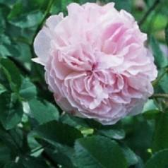 Rose Quatre Saisons - Damascenerrose
