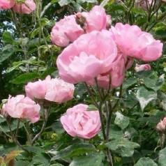 Rose Raubritter - Macranta Rose