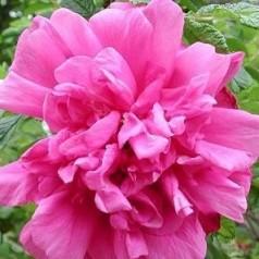 Rose Roseraie de l Hay / Rugosa Rose