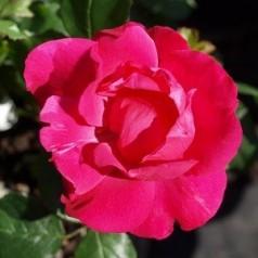 Rose Rødhætte - Buketrose / Barrods