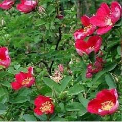 Rose Single Cherry / Busk Rose