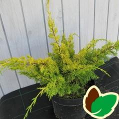 Juniperus chinensis Plumosa Aurea - Enebær