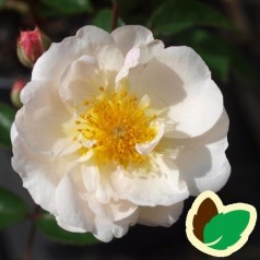 Rose Trier - Historisk rose
