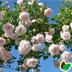 Rose White New Dawn - Historisk Slyng Rose