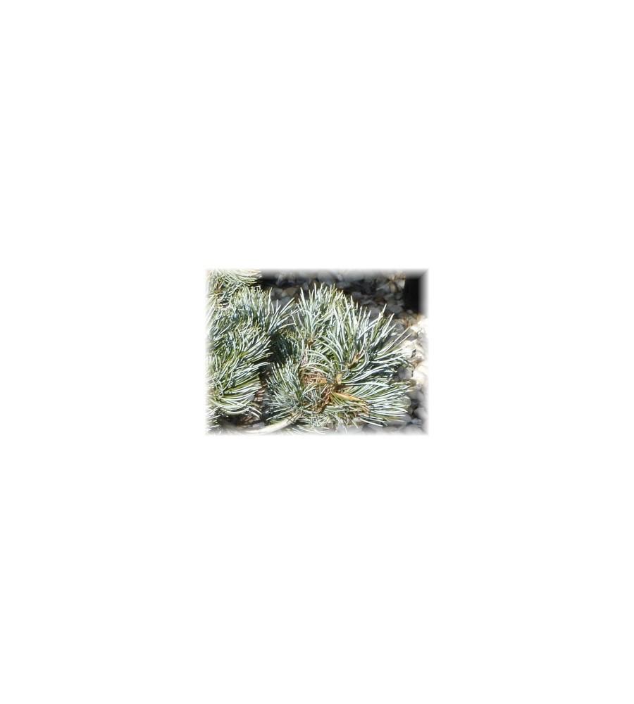 Pinus parviflora Tempelhof - Penselfyr / 40-50 cm.