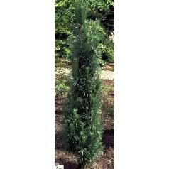 Pinus sylvestris Fastigiata - Søjle Skovfyr / 40-60 cm.