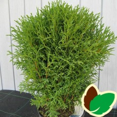 Thuja occidentalis Tiny Tim / Dværgthuja