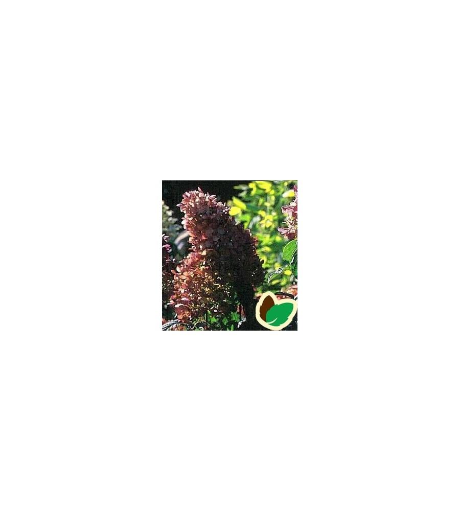 Hydrangea paniculata Pink Lady / Træagtig Hortensia