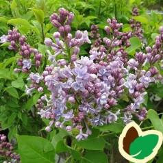 Syringa vulgaris Michel Buchner - Storblomstret Syren