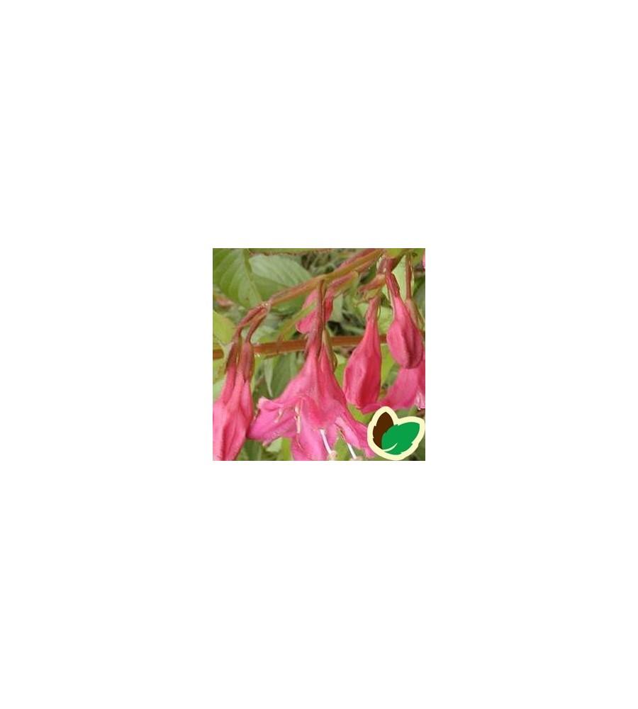 Weigela hybrid Lucifer - Klokkebusk
