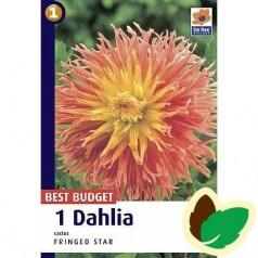 Dahlia Fringed Star / Georgin