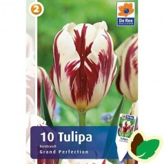 Tulipanløg Grand Perfection / Rembrandt Tulipan - 10 Løg