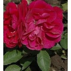Rose Flammetanz / Slyngrose