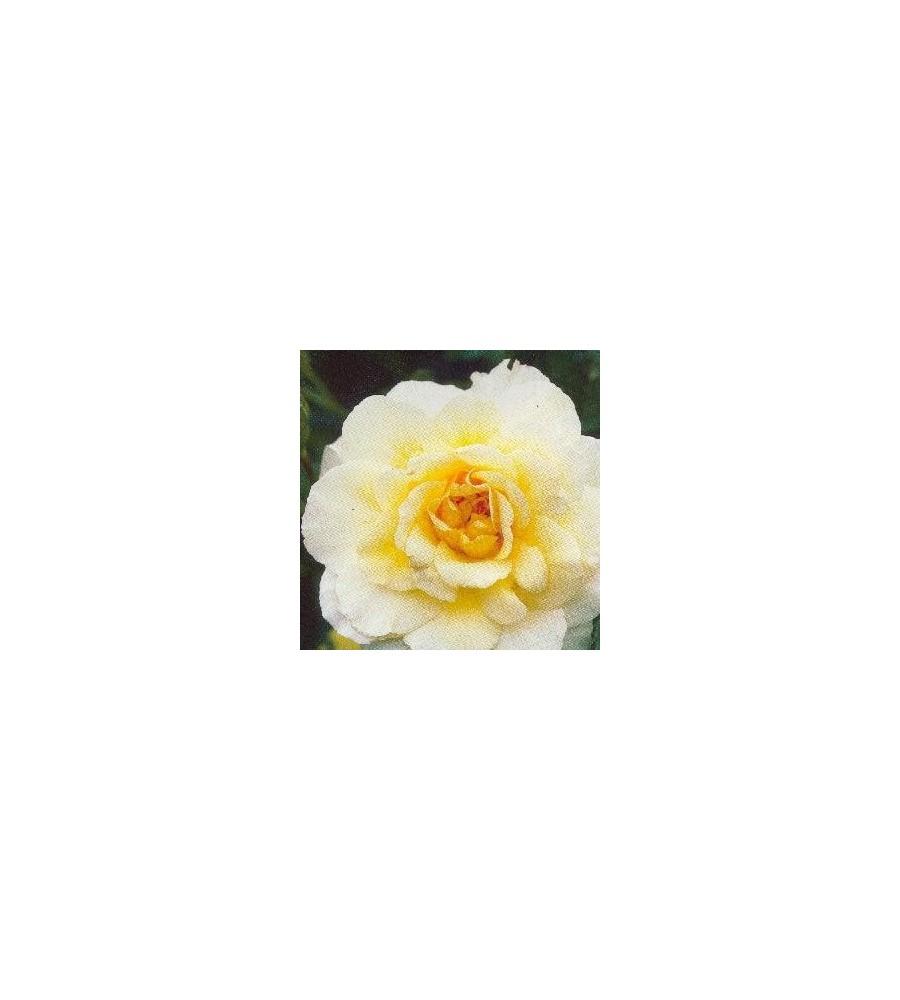 Rose Leverkusen / Busk Rose