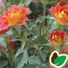 Rose Mandarin / Bunddækkerose