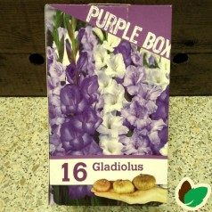 Gladiolusløg The Purple Box - 16 Løg
