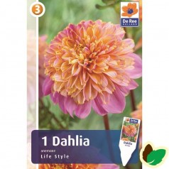 Dahlia Ball Eveline / Georgin