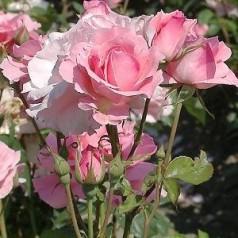 Rose Queen Elisabeth / Storblomstret Rose