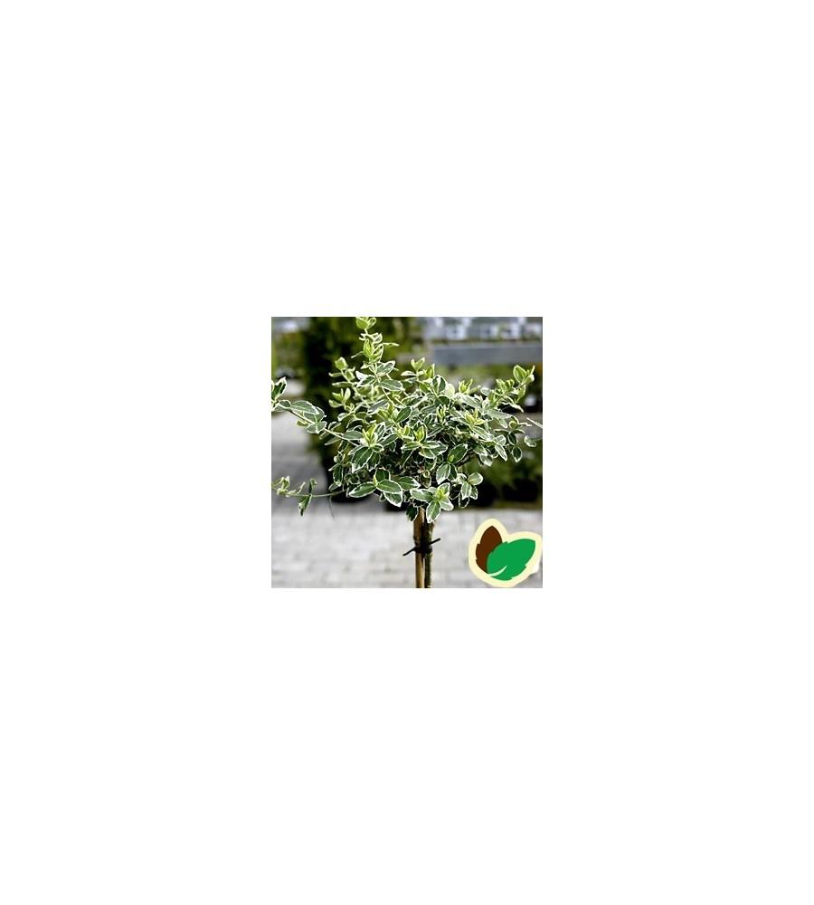 Euonymus fortunei Emerald Gaiety / 60 cm. stamme.