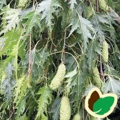 Betula pendula Dalecarlica - Fligbladet hængebirk / Træ 175-200 cm.