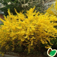 Forsytia Lynwood 50-80 cm. - Bundt med 10 stk. barrodsplanter - Forsythia intermedia Lynwood