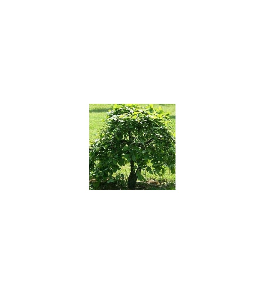 Carpinus betulus Pendula / HængeAvnbøg 200 cm. stamme